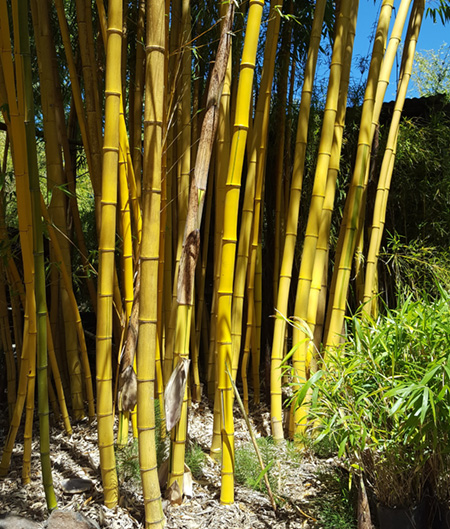 clumping vs running bamboos bamboo sourcery nursery gardens. Black Bedroom Furniture Sets. Home Design Ideas