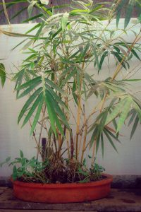 indoor bamboo, bamboo plants, bamboo for home, bonsai, bamboo for shade, shade bamboo, decorative bamboo