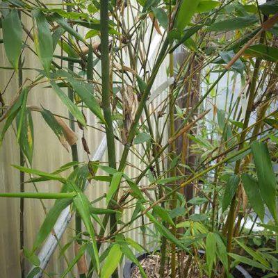 bambusa longispiculata mahal