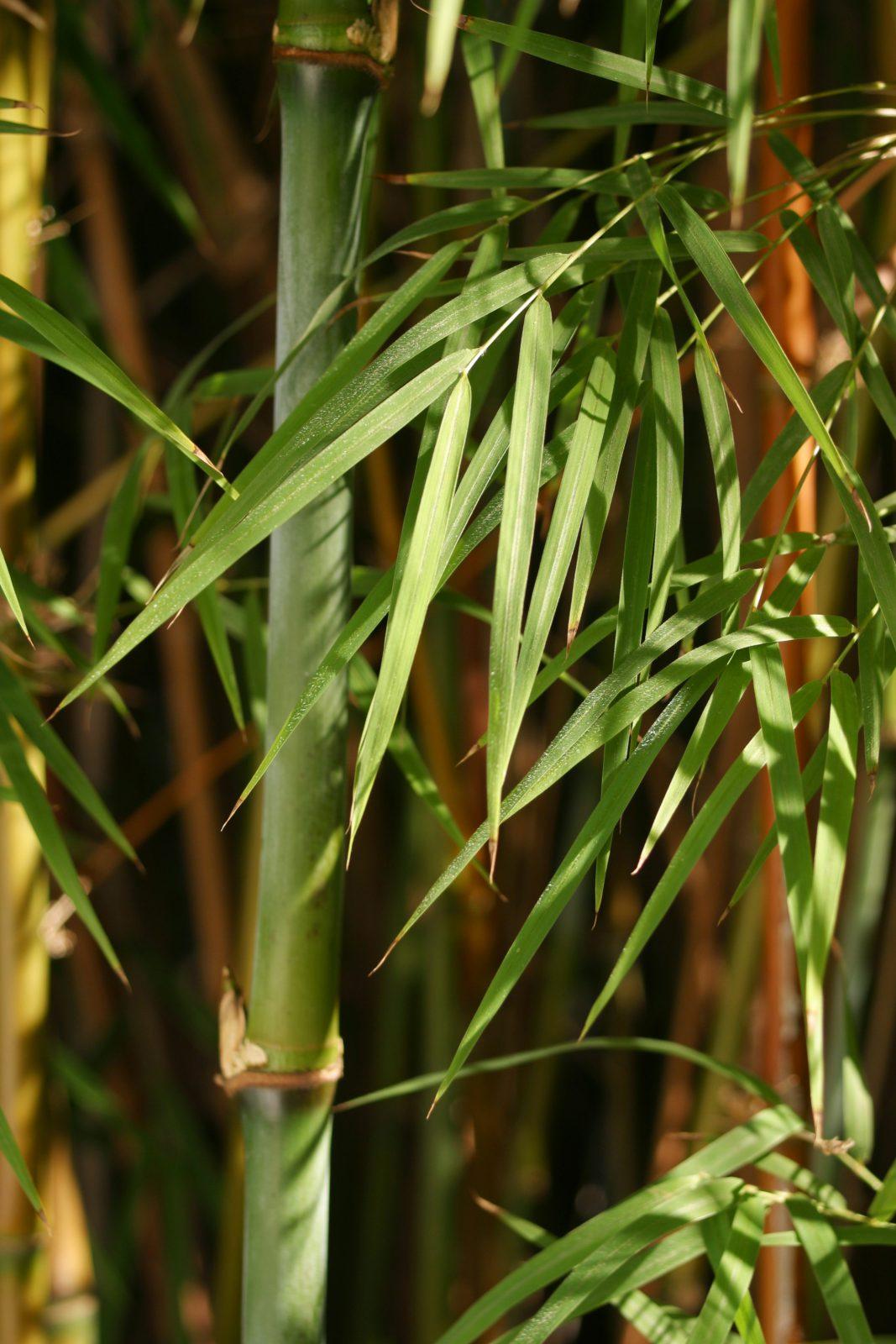 Bay Area Bamboo Sourcery San Francisco Northern California