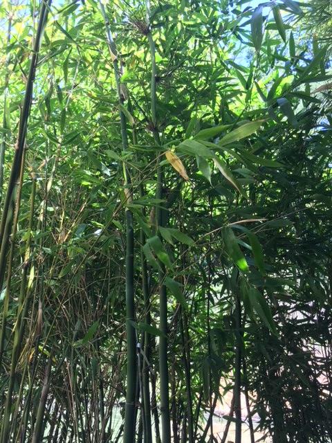 Bambusa Oldhamii Giant Timber Oldham S Bol