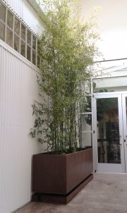 bamboo, bamboo plants, bamboo nursery, privacy screen, sf, bay area