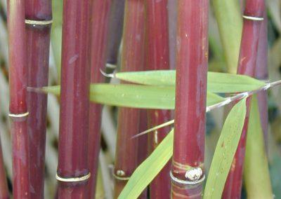 Borinda fungosa Chocolate Bamboo - BRF - canes