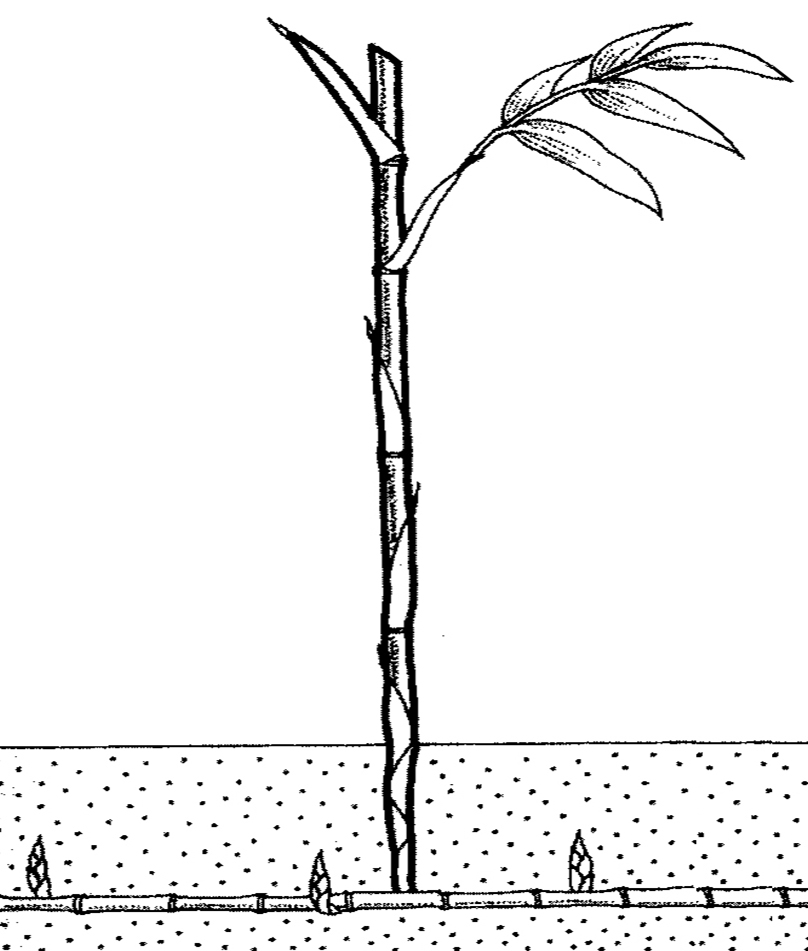 Diagram Of A Bamboo Plant