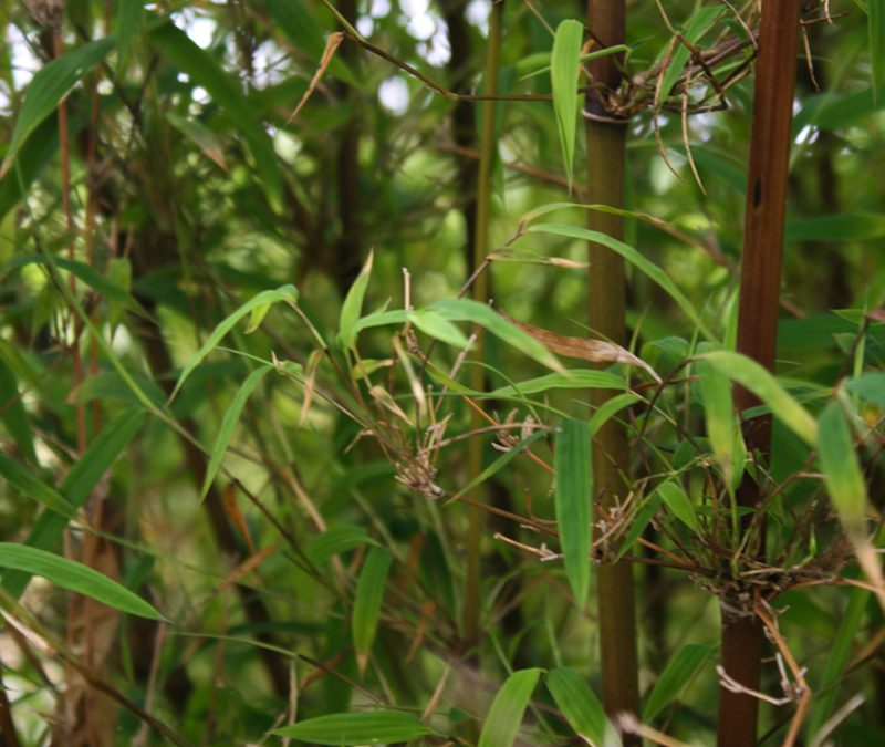 Himalayacalamus asper 'Princess Bamboo' – HCA