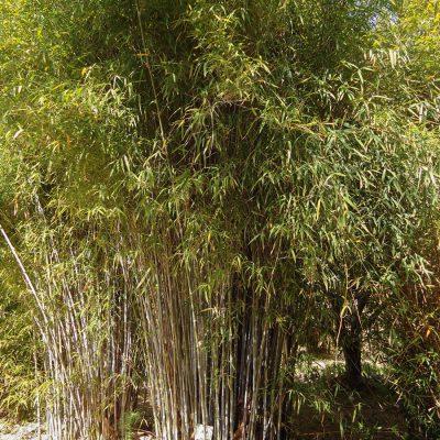 Himalayacalamus