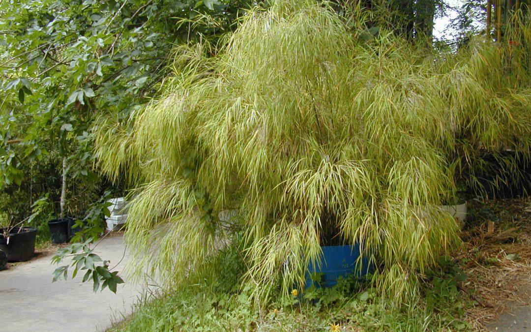 Otatea acuminata ssp. aztecorum 'Mexican weeping' – OAAZ