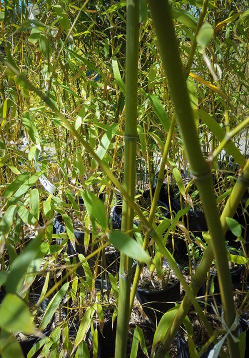 PHVJ, Phyllostachys viridis 'Houzeau'
