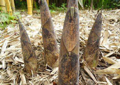 Phyllostachys vivax 'Aureocaulis' - PHVXA-SHOOTS