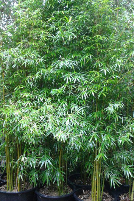 """Bambusa textilis var. gracilis """"Slender Weavers"""" – BTEG"""